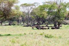 Табун буйвола в тени Стоковая Фотография