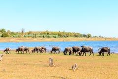 Табун буйвола есть траву Стоковые Фото