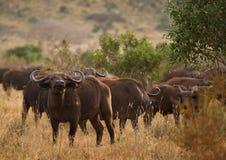Табун буйвола на африканской саванне Стоковые Фото