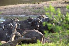 Табун буйвола плащи-накидк, caffer Syncerus Стоковые Изображения