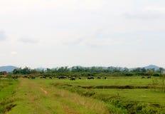 Табун буйвола Стоковые Фотографии RF