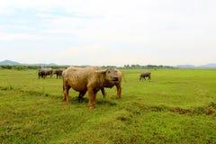 Табун буйвола Стоковое фото RF