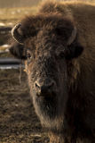 Табун буйвола стоковая фотография