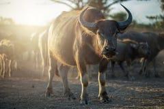 Табун буйволов в Таиланде Стоковые Фотографии RF