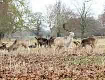 Табун великобританских оленей пася в полесье Кент, Великобритания стоковая фотография rf