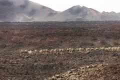 Табун верблюда в песке Стоковое Изображение