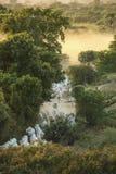 Табун волов возвращающ от выгона, Bagan, Мьянмы стоковое фото rf