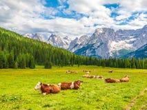 Табун высокогорных коров лежа на зеленом выгоне Ландшафт с пиками доломитов, Италия стоковые фото
