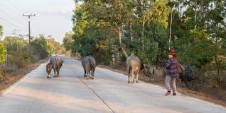 Табун в деревне сельской местности, Таиланд буйвола стоковое фото