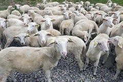 Табун годовалых овечек одного на ферме Стоковая Фотография