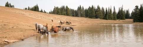 Табун диких лошадей на водопое в ряде дикой лошади гор Pryor в положениях Вайоминга и Монтаны Стоковая Фотография