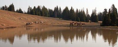 Табун диких лошадей на водопое в ряде дикой лошади гор Pryor в положениях Вайоминга и Монтаны Стоковые Изображения RF