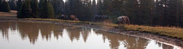 Табун диких лошадей на водопое в ряде дикой лошади гор Pryor в положениях Вайоминга и Монтаны Стоковые Изображения