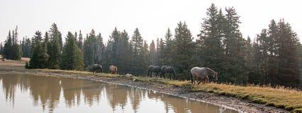 Табун диких лошадей на водопое в ряде дикой лошади гор Pryor в положениях Вайоминга и Монтаны Стоковые Фото