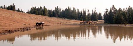 Табун диких лошадей на водопое в ряде дикой лошади гор Pryor в положениях Вайоминга и Монтаны Стоковое фото RF