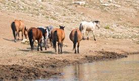 Табун диких лошадей на waterhole в ряде дикой лошади гор Pryor в Монтане u Стоковое Изображение RF