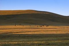 Табун диких лошадей пася на холме Стоковое фото RF
