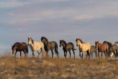 Табун дикой лошади в пустыне Юты Стоковые Фото