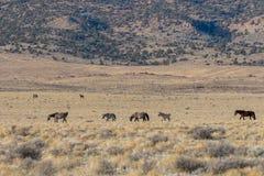 Табун дикой лошади в пустыне Юты Стоковая Фотография