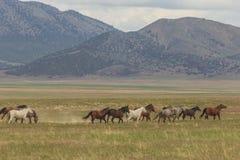 Табун дикой лошади в пустыне Юты Стоковые Изображения