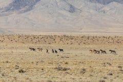 Табун дикой лошади в пустыне Стоковые Фотографии RF