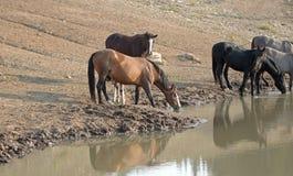 Табун дикой лошади/диапазон при новичок младенца выпивая на waterhole в ряде дикой лошади гор Pryor - Монтана США Стоковые Фотографии RF