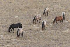 Табун дикой лошади пася Стоковая Фотография RF