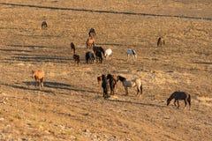 Табун дикой лошади пася Стоковые Фотографии RF