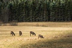 Табун европейских оленей косуль пася в желтом поле Стоковые Фото