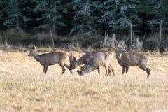 Табун европейских оленей косуль пася в поле Стоковое Изображение