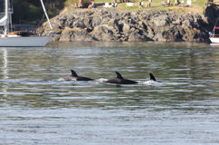Табун дельфин-касаток в Канаде Стоковая Фотография