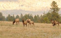 Табун женских коров лося Стоковое фото RF