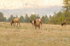 Табун женских коров лося Стоковые Фото