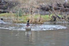 Табун живой природы ducks заплывание и устанавливать на воде Стоковое Изображение
