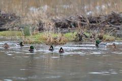 Табун живой природы ducks заплывание и устанавливать на воде Стоковое фото RF