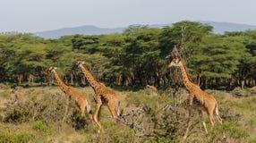 Табун жирафа в национальном парке охраны живой природы Африки Стоковое Изображение RF