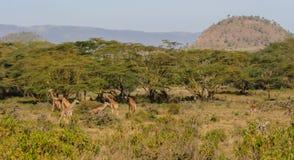 Табун жирафа в национальном парке охраны живой природы Африки Стоковое Изображение