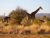 Табун жирафа и зебры Стоковые Фото