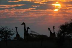 Табун жирафа на восходе солнца, nationalpark etosha, Намибии Стоковые Изображения