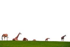 Табун жирафа на горизонте Стоковое Изображение RF
