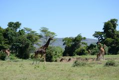 Табун жирафа на предпосылке держателя Килиманджаро в национальном парке Кении, Африки Стоковая Фотография
