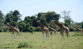 Табун жирафа на предпосылке держателя Килиманджаро в национальном парке Кении, Африки Стоковые Фотографии RF