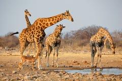 Табун жирафа на waterhole Стоковое Изображение RF