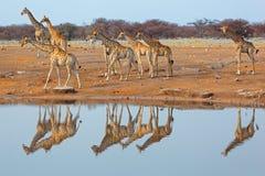 Табун жирафа на waterhole Стоковая Фотография RF