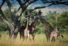 Табун жирафа под большим деревом акации Стоковое Изображение RF