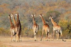 Табун жирафа Стоковое Изображение RF