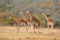 Табун жирафа Стоковые Фото