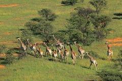 Табун жирафа Стоковое Изображение