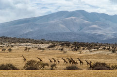 Табун жирафа Стоковое Фото