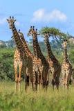 Табун жирафа Masai в национальном парке Serengeti Стоковые Изображения